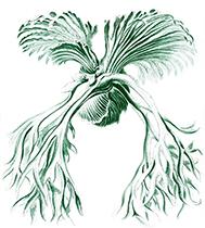Art-Haeckel-Filicinae